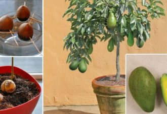 grow_your_own_avocado_tree_featured-696x365
