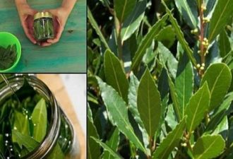 BAY-LEAVES