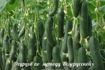 ogurtsy-po-metodu-belorusskoj-tyotushki