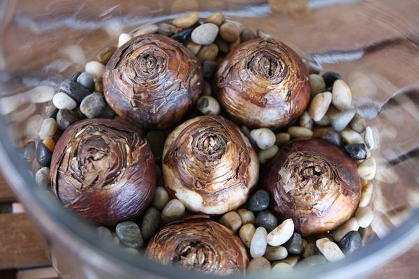 Вырастить луковицы цветов к праздникам