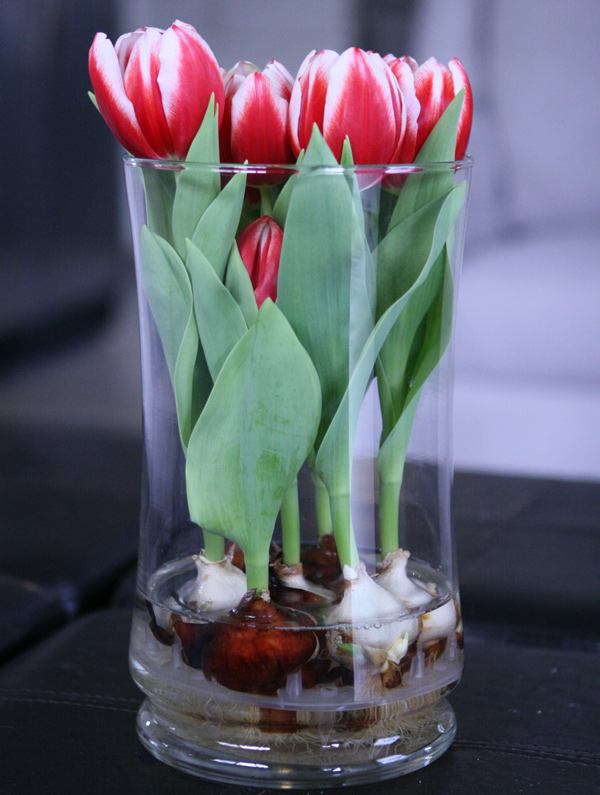 Вырастить луковицы цветов дома в воде