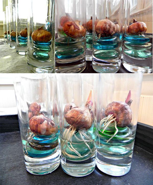 вырастить тюльпаны и нарциссы в вазе