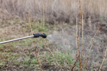 Sprinkling of currant bushes with fungicide in early spring