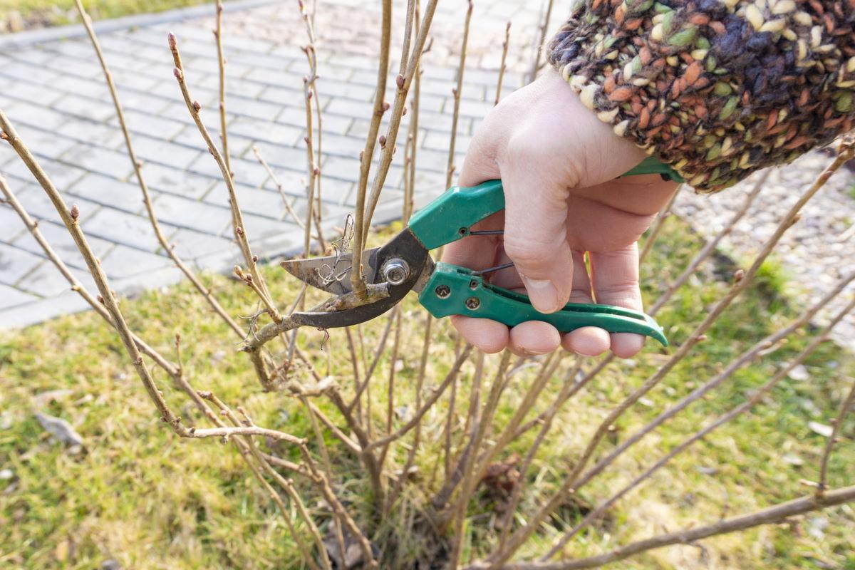 как ухаживать за смородиной весной